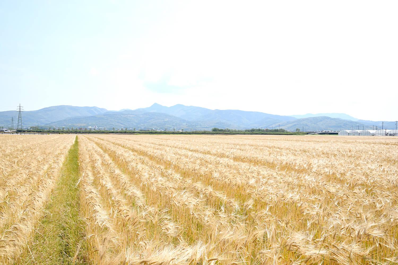 鹿児島に一面黄金の麦畑がある